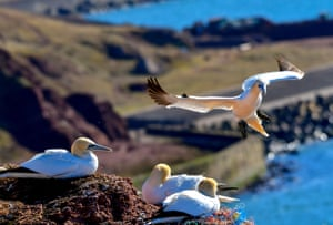 Northern gannets on a cliff on the German North Sea island of Heligoland.