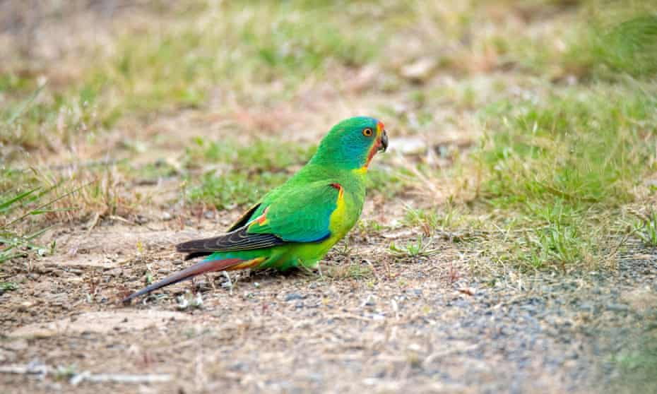 Swift parrot, Lathamus discolor, on Bruny Island, Tasmania.