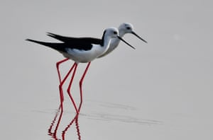 Two black-winged stilts rest on the shoal near Anhai Town of Jinjiang City, southeast China's Fujian Province
