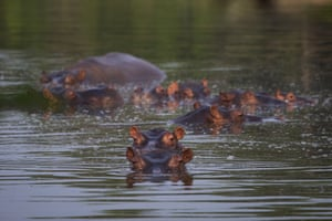 Hippos submerged in a lake at the Hacienda Napoles Park in Puerto Triunfo, Colombia. The animals, originally brought to Colombia by the late drug baron Pablo Escobar as part of his personal zoo, have been taking over the countryside near his former ranch, leaving farmers and fisherman fearing for their safety