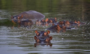 Hippos submerged in a lake at the Hacienda Napoles.