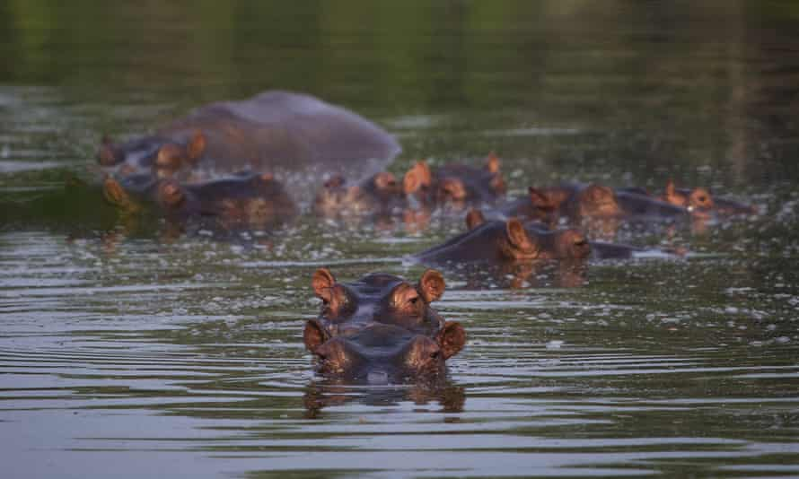 Hippos submerged in a lake at the Hacienda Nápoles.