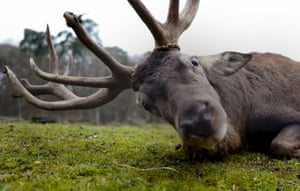 A stag looks into the camera at a wildlife park in Hanau, Germany