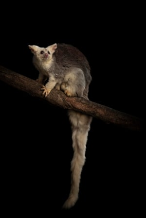 A female greater glider (Petauroides volans) on a branch