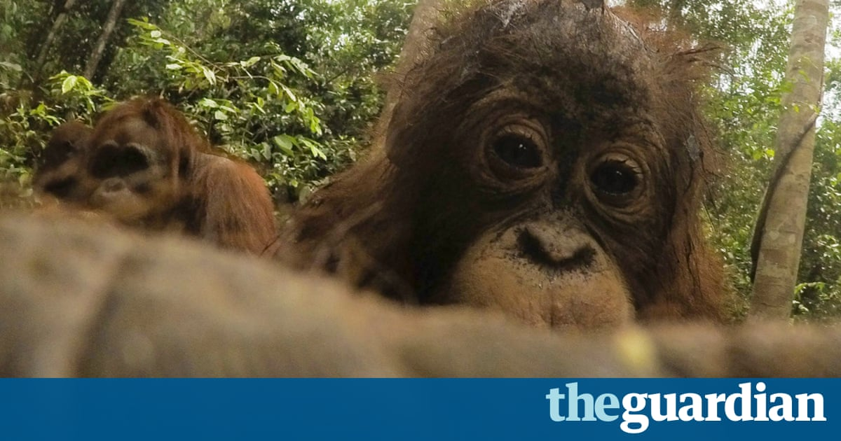 An orangutan stole my camera and took close-up selfies – in pictures