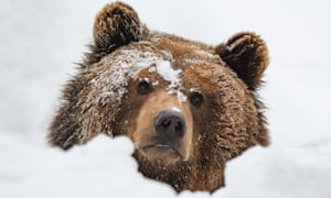 In colder climes grizzlies avoid the worst of the weather by entering a state of hibernation for up to seven months.