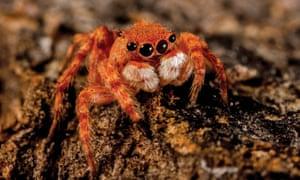 A male desert jumping spider from Kiwirrkurra, Western Australia.