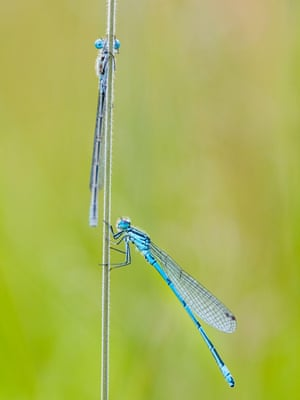 Two azure damselflies rest on a grass stem for the night in Aberystwyth, Wales