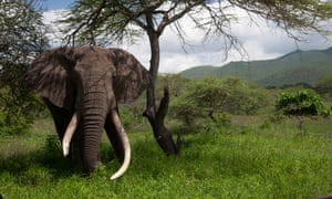An old African elephant bull with a broken tusk