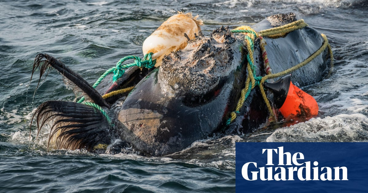 North Atlantic right whales critically endangered by climate crisis, new study finds