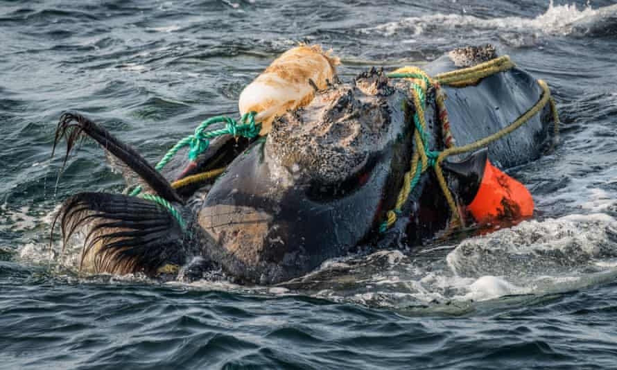 A North Atlantic right whale entangled in fishing ropes in the Gulf of St Lawrence. Severely entangled whales cannot feed and often starve to death.