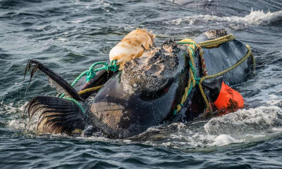 A North Atlantic right whale severely entangled in ropes and buoys. Fishing gear is a leading cause of death among whales. Only 356 of the species remain.