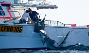 A tiger shark being caught in the Margaret River region of Western Australia in 2014 under the controversial culling program in place at the time.