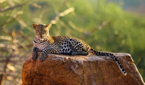 Leopard sunsetCame across this beautiful young female leopard on a late afternoon game drive. She was so relaxed with my presence that we sat and watched each other for a half an hour or more Photograph: Tom Lebert/GuardianWitness