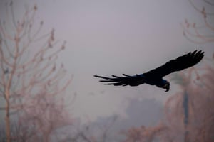 A hyacinth macaw flies over a burnt area of ground.