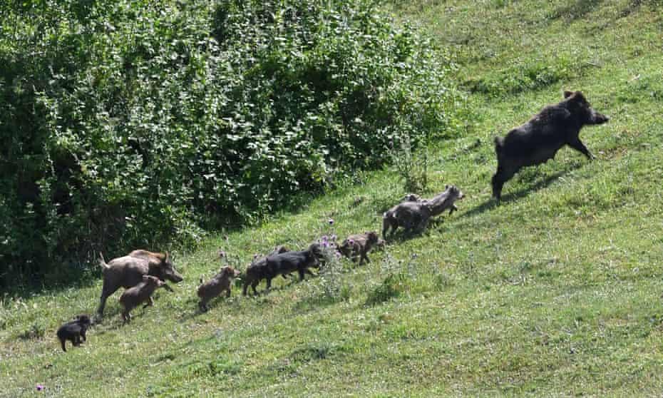 Wild boar near Rome.