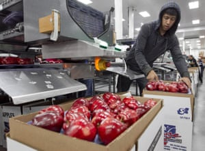 Alfonso Martin helps pack apples for export at Valicoff Fruit in Wapato, Washington in October 2014.