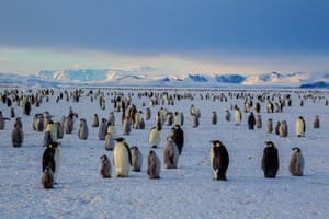An emperor penguin colony on the frozen Ross Sea, Antarctica.