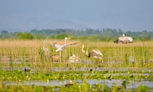 Pelicans in the Skadar Lake national park, Montenegro