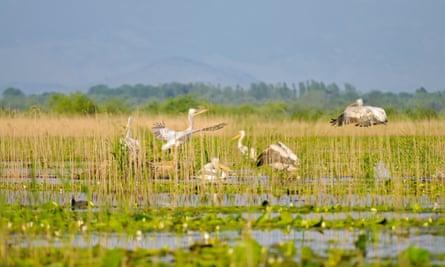 Pelicans in the Skadar Lake national park, Montenegro