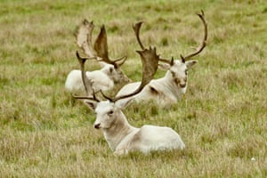 Rare white deer and stags in the deer park at Culham Court on a misty autumnal afternoon in Berkshire, UK.