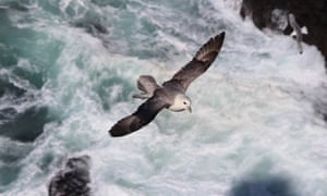 A fulmar glides towards cliffs at Rathlin Island, Northern Ireland