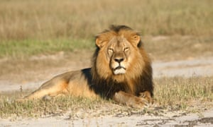 In this undated photo provided by the Wildlife Conservation Research Unit, Cecil the lion rests in Hwange National Park, in Hwange, Zimbabwe. (Andy Loveridge/Wildlife Conservation Research Unit via AP)