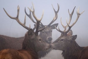 Red deer stags stand in the gorse on a foggy morning in Richmond park, London