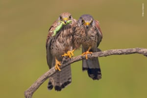 A Suitable Gift by Marco Valentini (Italy). Courting kestrels share a tender moment