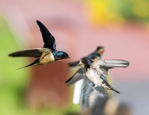 A swallow feeds young birds in Harbin, China.