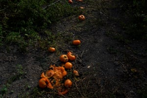 Tomatoes on the ground at Brisa de Año farm.