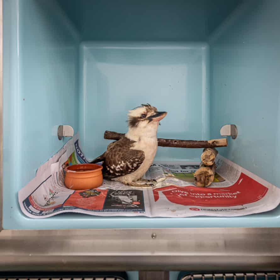 A Kookaburra in a cage recovering.
