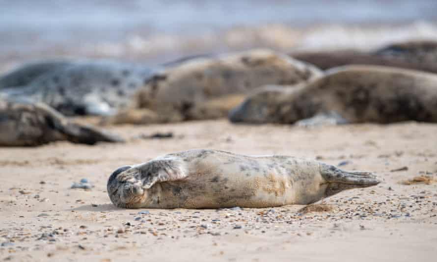 Atlantic grey seals on Horsey Beach, Norfolk.