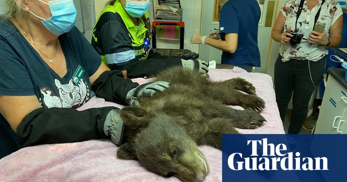 Burned paws, hungry bears: the race to help animals injured in wildfires