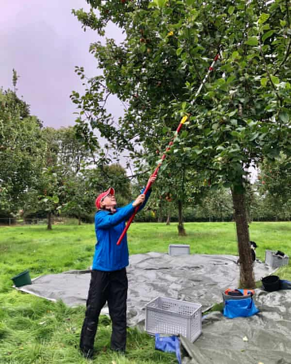 Sarah Baxter shakes down some apples with a panking pole
