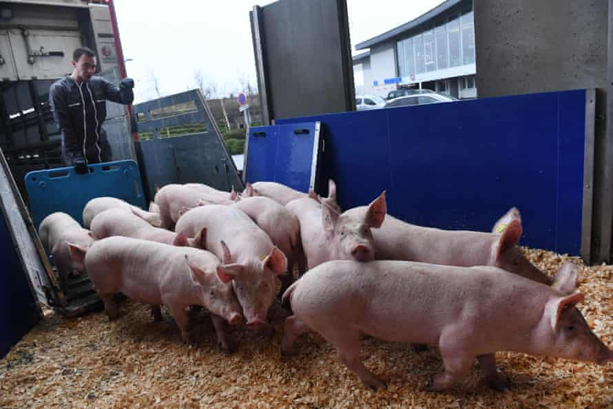 A farmer guides pigs to a cargo zone cage them to be loaded onto a cargo plane en route to China from the airport in Guipavas, Brittany, on 10 March 2020.