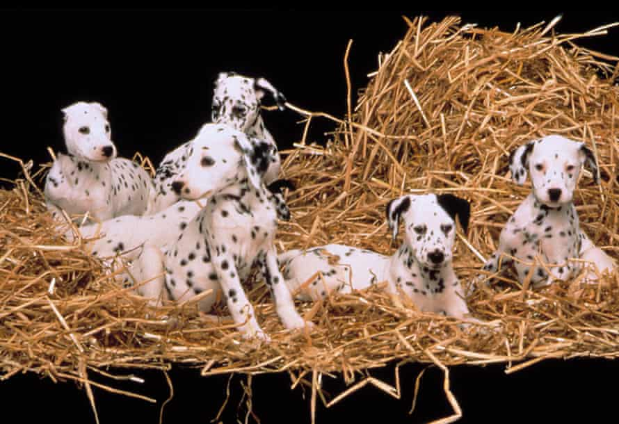 Spots all over … some of the pups featured in a 1996 version of Smith's The Hundred and One Dalmatians.