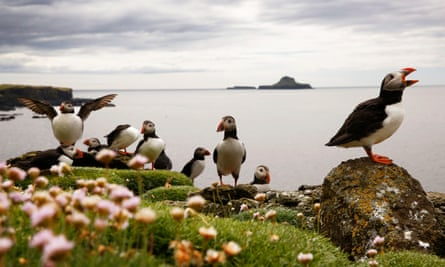 Puffins nest on the Treshnish Isles, west of Mull, in Scotland.