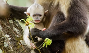 A young snub-nosed monkey in China.