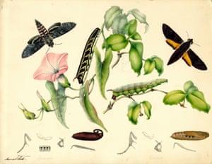 Convolvulus hawk moth and white-brow hawk moth by Harriet Scott
