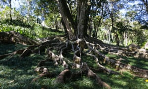 Large tree roots stretch from their tree and sit above the grassy ground.