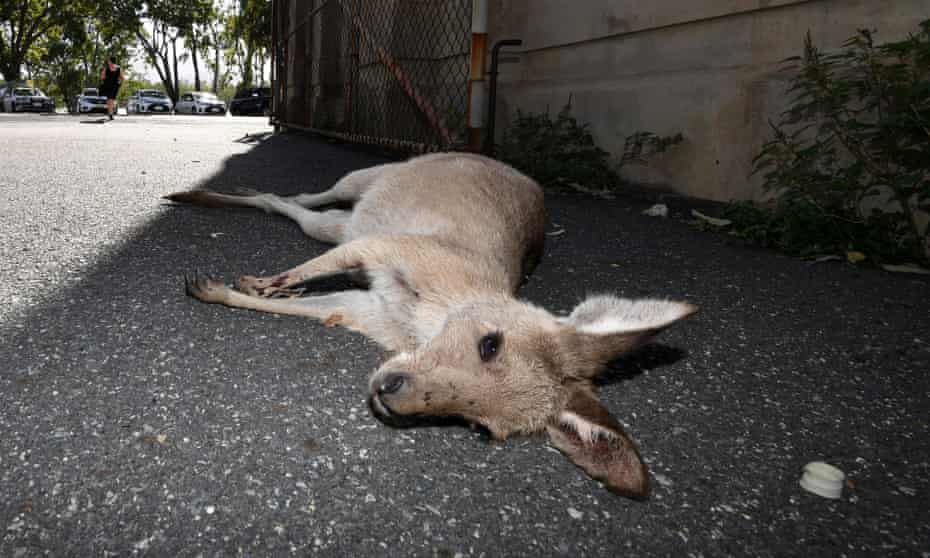 A female kangaroo lies dead after she was hit by a car while moving to higher ground away from floodwaters in Rockhampton, Tuesday, April 4, 2017. Flood waters are expected to hit levels not seen in 60 years. Climate change is intensifying extreme weather events such as these as well as making them hit more frequently. Such events, as well as other climate impacts, are forcing animals to move around the world, often resulting in population decline and local extinction.