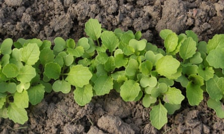 Young turnip greens seedlings.