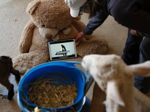 Anastasia, a recently rescued sheep with debilitating flystrike, watches a wildlife video during her afternoon therapy session at Edgar's Mission