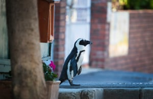 An African penguin (Spheniscus demersus) waddles along an empty sidewalk during the coronavirus lockdown in the Simonstown suburb of Cape Town, South Africa, on 25 April, World Penguin Day.