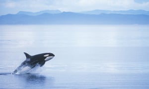 A killer whale off the coast of British Columbia. Orcas in the region will face a disruptive increase in oil tanker traffic if the proposed pipeline expansion goes ahead.