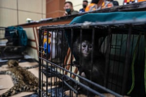 Items seized from an animal trader, including a baby Javan langur and the skin of a leopard, on display at a police headquarters