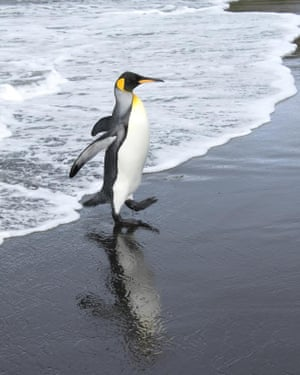 Scientists say king penguins need extra fat to survive their fasting during the breeding season.