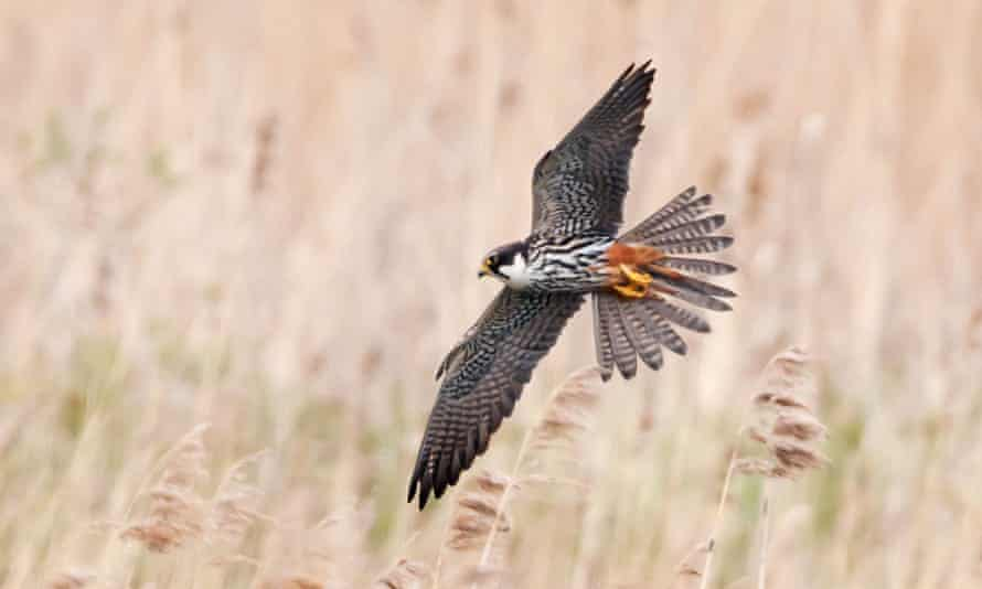 A hobby (falco subbuteo) in flight over a reed bed in Warwickshire.