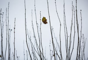 Autumn's last leaf withers solitarily as winter takes hold in Frankfurt, Germany